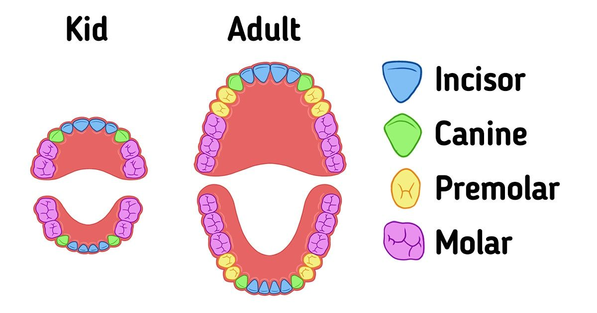 Human Teeth: Explained by Type